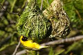 Southern masked weaver poster