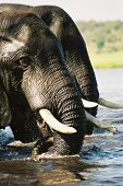 Elephants crossing the Chobe River in Botswana seemingly mirrored or in duplicate poster