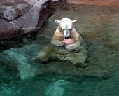 polar bear holding a ball sitting in the water. poster