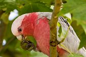 Native Australian galah parrot feeding on tree seeds poster