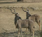 two kudu bulls standing at a waterhole in the namibian savannah and looking in the same direction poster