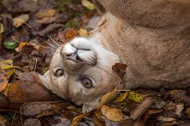 Cougar (puma Concolor) Rolls In Autumn Leaves - Captive Animal