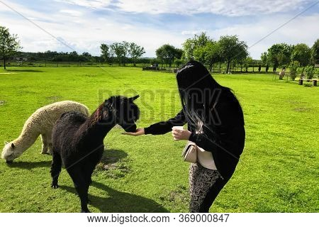 A young girl feeds the alpaca