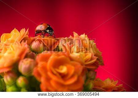 Ladybug Close-up On A Rose Flower. Beautiful Ladybug On A Beautiful Flowering Flower Kalanchoe Bloss
