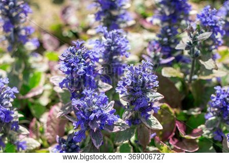 Ajuga Reptans. Spring Flowers Of Ajuga Reptans. Blooming Plants. Wild Plants And Flowers