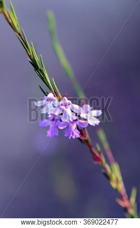 Delicate Purple Flowers Of The Australian Native Narrow-leaved Hemigenia, Hemigenia Purpurea, Family