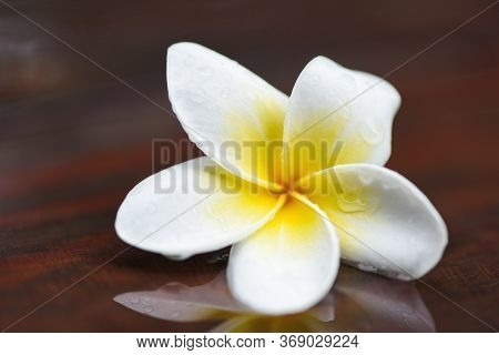 Plumeria Flowers With Drop Water On Wooden After Rain / Other Names Frangipani , White Plumeria , Te