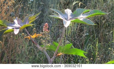 Large Leaves And Green Prickly Seed Pods On Shrub In Alora Countryside