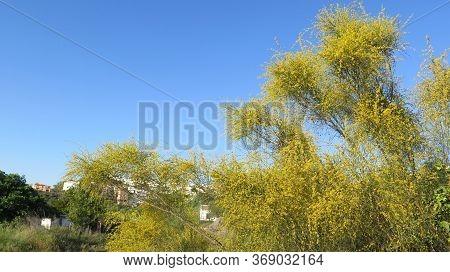 Large Yellow Flowering Shrub In Spanish Countryside