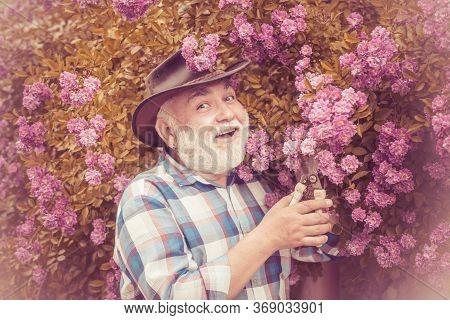 Senior Man Gardening In Garden. Gardening - Grandfather Gardener In Sunny Garden Planting Roses. Hip