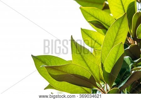 Fresh Magnolia Leaves Isolated On White. Magnolia Soulangeana, The Saucer Magnolia, Branch With Fres