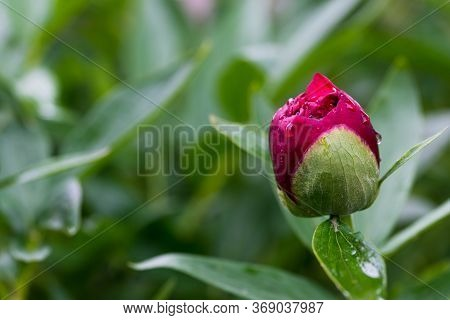 Red Peony (paeonia Officinalis) Flower Bud After Rain Close Up Shot, Locals In Romania Named It Pent