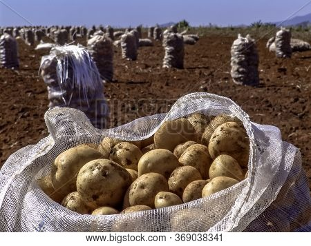 Potato Bag After Harvesting On The Field In Brazil
