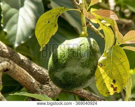 Avocado Tree After Rain In Brazil, Brazilian Tropical Fruit
