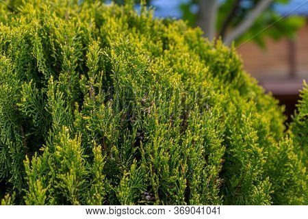 The Juniper Bush Closeup. Background With Juniper Branches Growing In The Park.