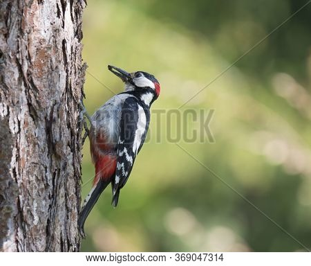 Close Up Male Bird The Great Spotted Woodpecker, Dendrocopos Major Perched On The Larch Tree Trunk W