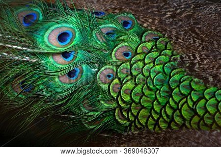 Close-up Peacocks, Colorful Details And Beautiful Peacock Feathers.macro Photograph.