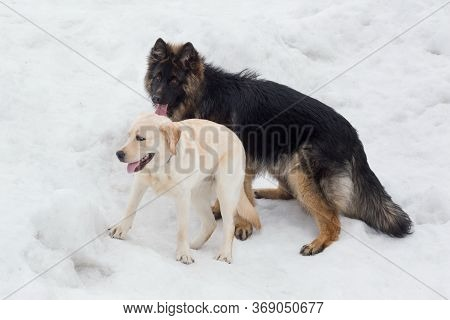 Labrador Retriever Puppy And Long Haired German Shepherd Puppy Are Playing In The Winter Park. Pet A