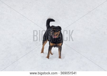 Cute Rottweiler Puppy Is Standing On A White Snow In The Winter Park. Pet Animals.