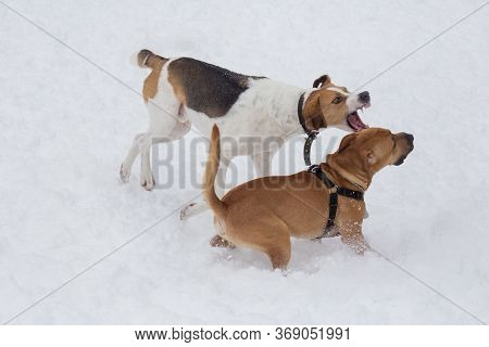 Russian Hound And American Staffordshire Terrier Puppy Are Playing In The Winter Park. Pet Animals.