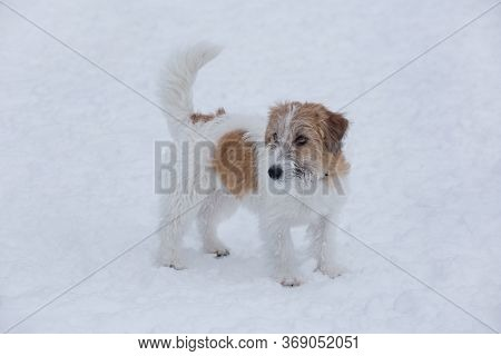 Cute Jack Russell Terrier Puppy Is Standing On A White Snow In The Winter Park. Pet Animals.