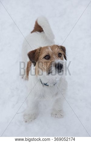 Jack Russell Terrier Puppy Is Standing On A White Snow In The Winter Park. Pet Animals.