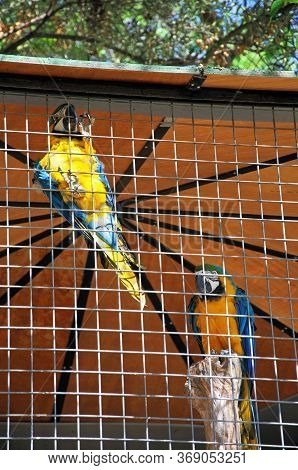 Caged Blue And Yellow Macaws (parrot (psittacines)), Spain.