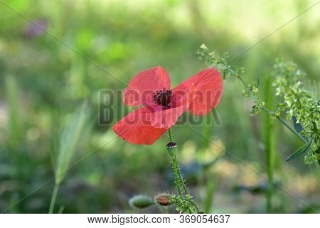 Closeup Of Beautiful Red Poppy Blossoming In The Field/ Beautiful Spring Background/ Red Poppy Backg