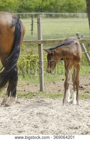 A Little Brown Foal, Mare Foal Standing Next To The Mother, During The Day With A Countryside Landsc