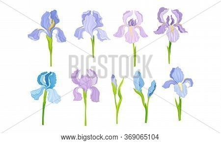 Iris Flower On Stem With Sepals And Standing Upright Petals Vector Set