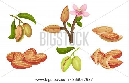 Almond Kernel With Green Leafy Branch And Blossoming Flower Vector Set