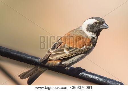 A Male Cape Sparrow (passer Melanurus) Perched On A Metal Bar In The Kalahari, South Africa
