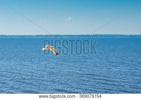 Flying Seagull On A Big Lake, Summer Sunny Day, Panorama Horizon