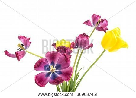 Beautiful Wilted Flowers Tulips Of Purple And Yellow On A White Background, Isolate
