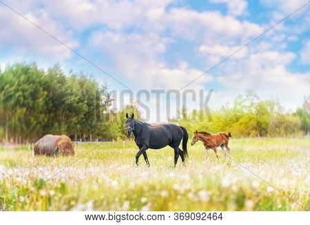 Black Horse Female With Foal In The Meadow In Summer
