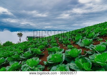 Cabbage Near The Harvest To Sell Planting Area At Phu Thap Berk Phetchabun Province, Thailand