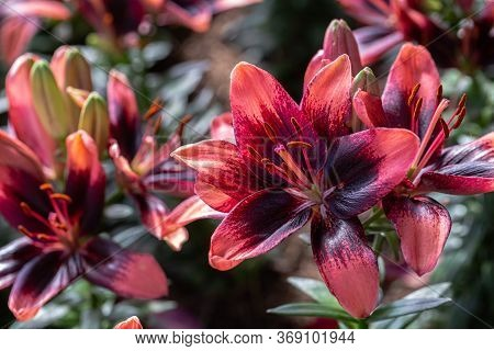 Asiatic Lily Flower Or Asiatic Lilies Flower In Garden At Sunny Summer Or Spring Day. Red Flower.