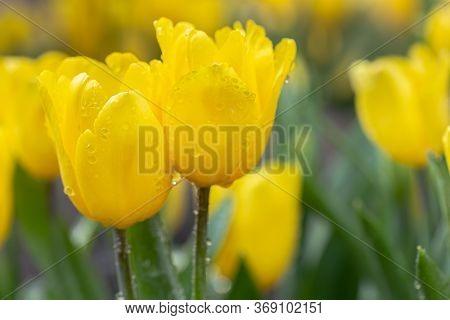 Tulip Flower In Flower Garden At Winter Or Spring Day. Yellow Flower.