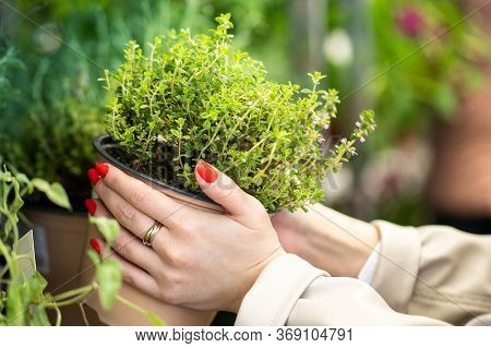 Home Gardening, Planting. Woman Choosing Fragrant Herb Thyme In Plastic Pot For Her Kitchen/apartmen