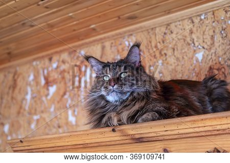 Whiskered Maine Coon Cat With Tassels On The Ears. View From The Bottom Corner.