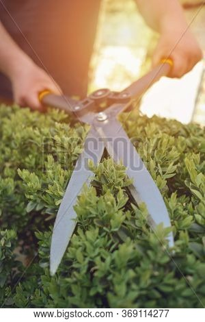 Bare Hands Of Unknown Gardener Are Trimming Green Bush Using Sharp Hedge Shears On His Backyard. Wor