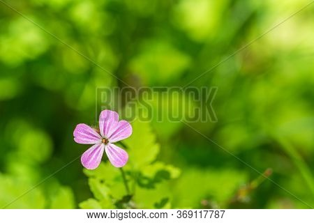 Closeup Macro Shot Of Beautiful Purple Geranium (cranesbill) Flower In Spring In Front Of Green Boke