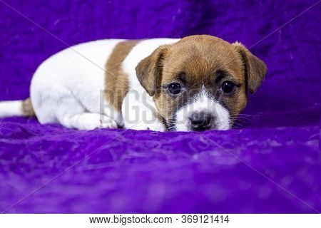 Beautiful Puppy Bitch Jack Russell Terrier Lies On A Purple Bedspread. Violet Background