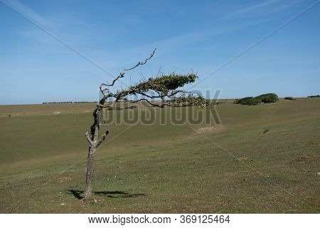 A Tree Bent To The Wind Direction On The South Downs, Sussex