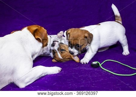 Mom Bitch Jack Russell Terrier Teaches Her Puppies Through The Game To Growl And Bark, Bite, On A Pu