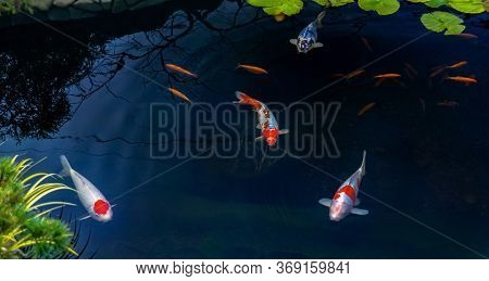 Famous Colorful Asian Fish Koi Carp, Colored Varieties Of Amur Carp Float In An Artificial Pond, Wat