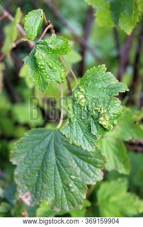 Blackcurrant Disease. Gallic Aphids. The Berry Bush With Damaged Leaves. Close-up. Domestic Garden.