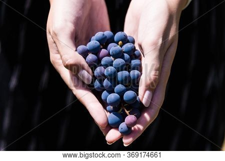 A Young Woman Holding A Bunch Of Red Wine Grapes In A Vineyard.