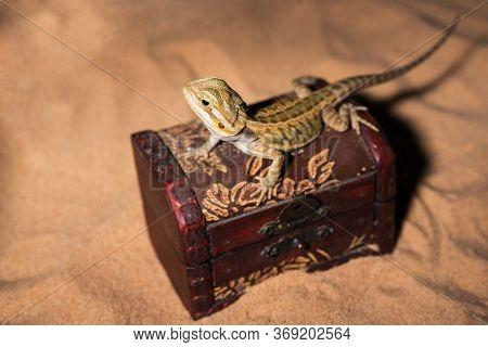 Pogona Vitticeps Lizard. Australian Bearded Dragon Lizard. Agama Lizard Lies In An Open Treasure Che