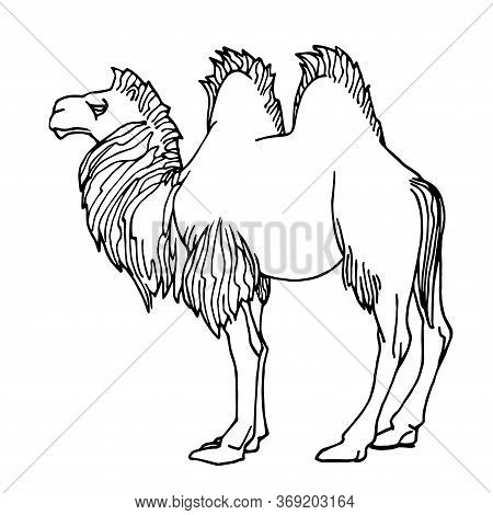 Young Male Two-humped Camel Bactrianus With Mane, Mammalian Animal, Ancient Desert Transport, Vector